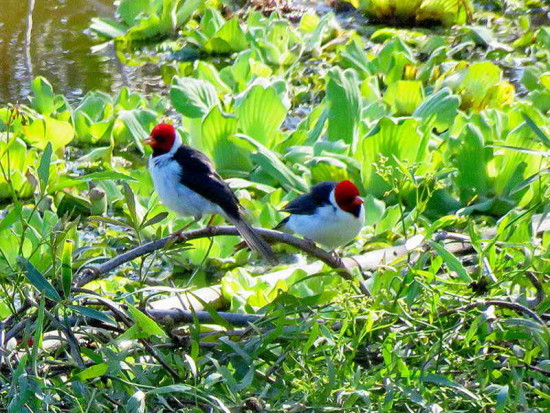 Cardenilla/Red-crested Cardinal