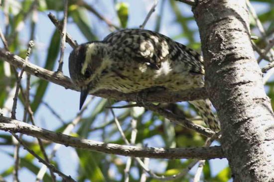 Carpitnero bataraz chico/Checkered Woodpecker