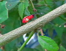 Chinche tricolor/Red Bug