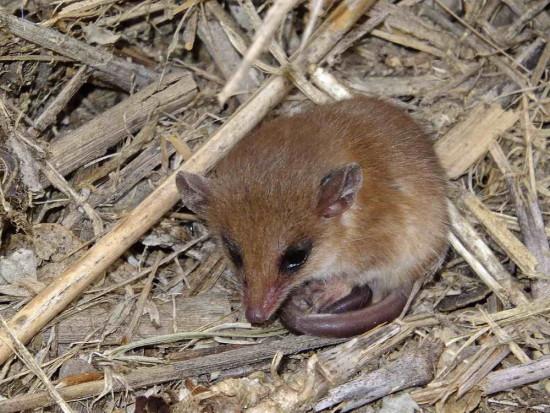 Comadrejita ágil/Agile gracile Opossum