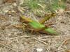 Caryacris angustipennis
