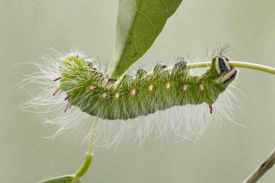 Oruga Polilla imperial/Imperial Moth Caterpillar