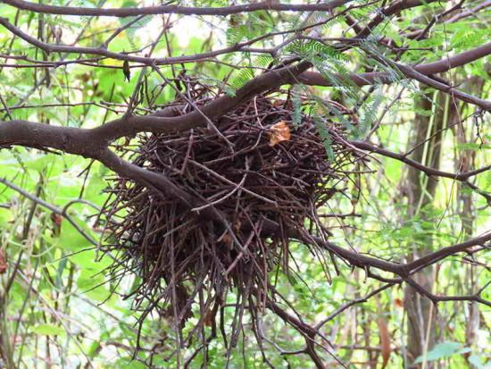Espinero pecho manchado/Freckle-breasted Thronbird