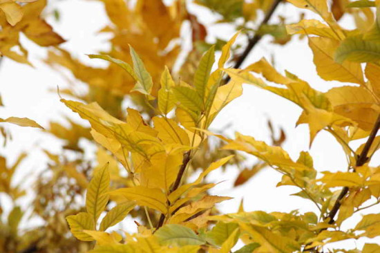 Fresno/Ash tree