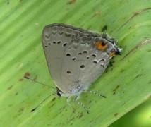 Frotadora común/Strymon eurytulus