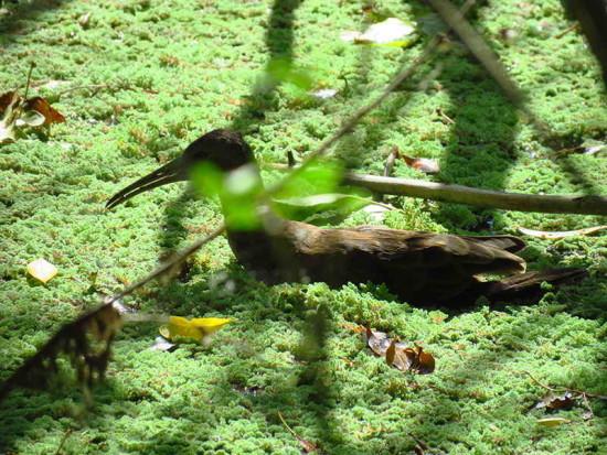 Gallineta común/Plumbeous Rail