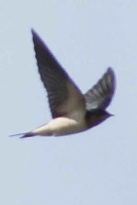 Golondrina tijerita/Barn Swallow