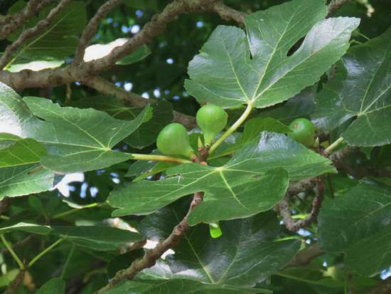 Higuera/Fig tree