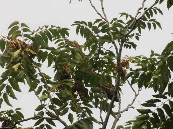 Hocó colorado/Rufescent Tiger Heron