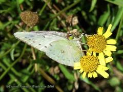 Isaoca de la alfalfa/Lesbia Sulphur