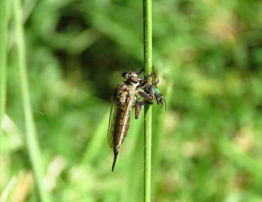 Mosca asesina/Assassin fly