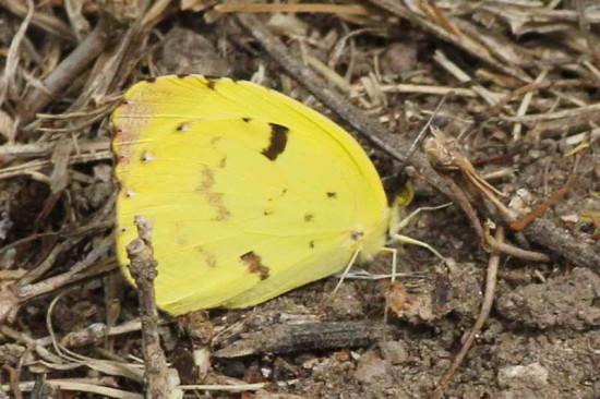 Limoncito/Common Yellow