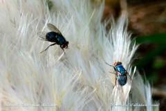 Mosca azul/Blue bottled fly