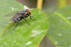 Mosca de la clarne/Flesh fly