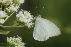 Pripinto de la col/Great Southern White