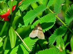 Polilla/Moth