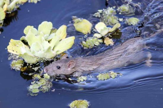 Rata/Rat
