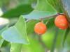 Tala gateador/Iguana hackberry