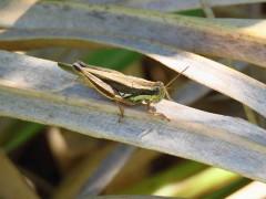 Tucura de los alfalfares/Short-horned grasshopper