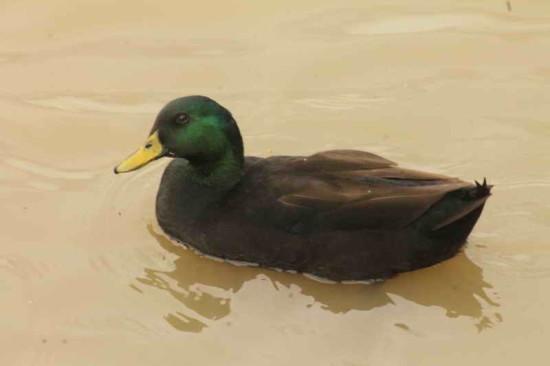 Ánade real/Mallard Duck