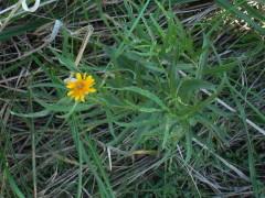 Sunchillo/Wedelia glauca