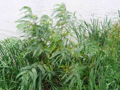 Acacia mansa/Wand riverhemp