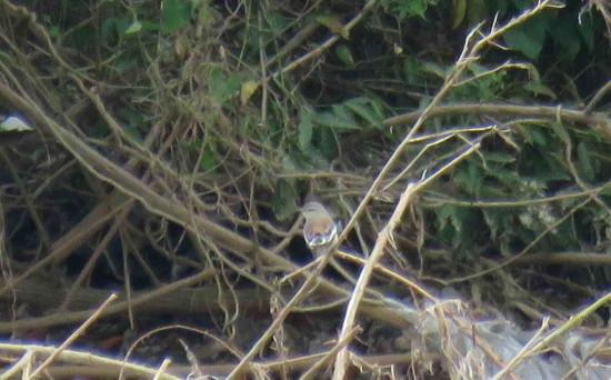Calandria real/White-banded Mockingbird