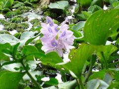 Camalote/Rooted water hyacinth