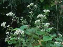 Chilca de olor/Eupatorium inulifolium