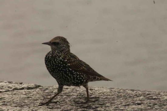 Estornino pinto /European Starling