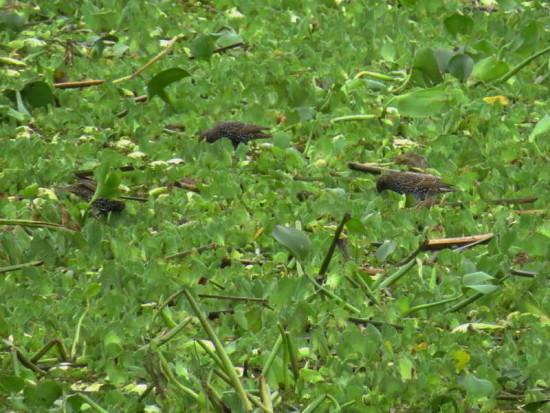 Estronino pinto/European Starling