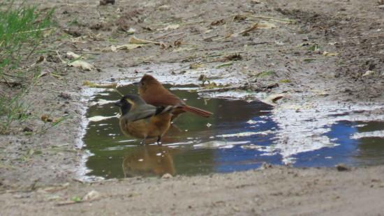 Frutero negro-Pepitero de collar/White-lined Tanager-Saltator aurantiirostris