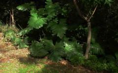 Güembé/Philodendron undulatum