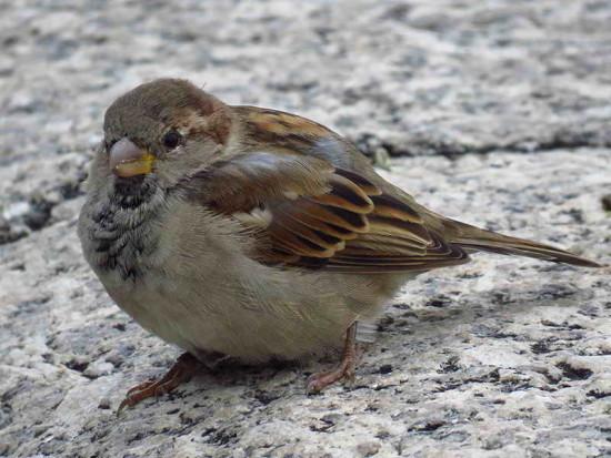 Gorrión House Sparrow