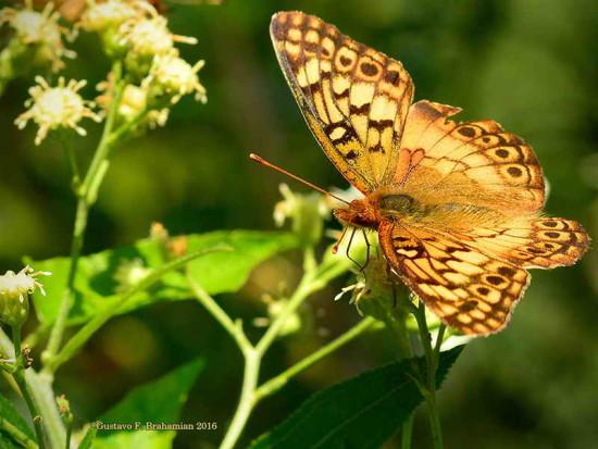 Hortensia/Southern Fritillayr