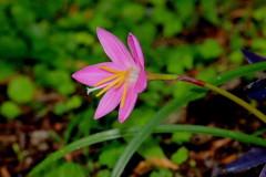 Lirio rosa de la lluvia/Pink rain lily