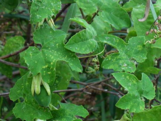 passiflora morifolia CBR 1 4 16