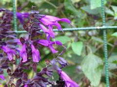 Salvia azul/Blue anise sage