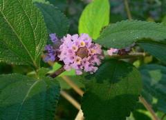 Salvia del campo/Bushy matgrass