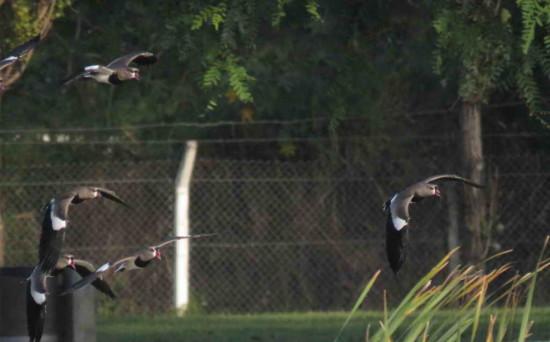 Tero común/Vanellus chilensis