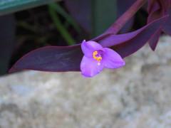 Tradescantia púrpura/Purple heart