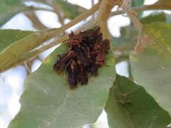 Avispa roja/Polistes canandensis