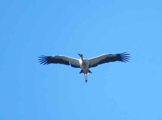 Cigüeña/Maguari Stork