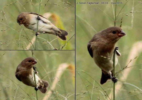 Corbatita overo/Lined Seedeater