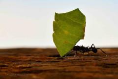 Hormiga cortadora de hojas/Leafcutter ant