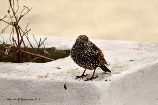 Estornino pinto/European Starling