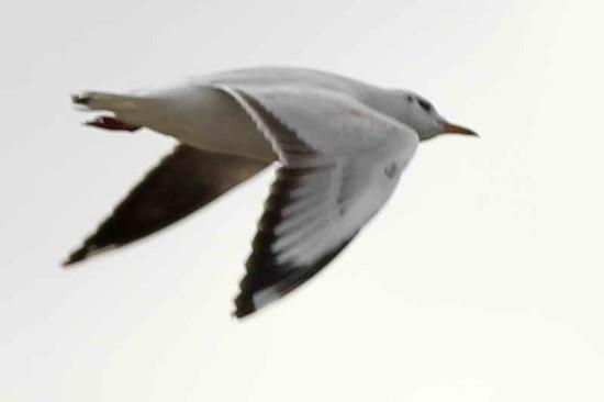 Gaviota capucho café/Brown-hooded Gull