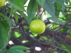 Mandarina/mandarin tree