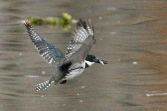 Martín pescador medianto/Amazon Kingfisher