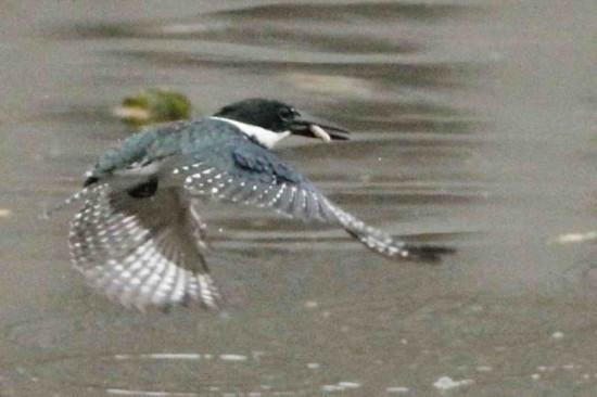 Martín pescador mediano/Amazon Kingfisher